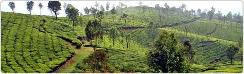 Ooty Tea Estate Tour, Ooty Tea Estate Tour India, Ooty Tea ...