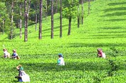 Tea Tourism In India, Indian Tea Tourism
