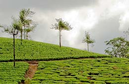 Tea Tourism Packages India, Tea Tourism Packages India Travel