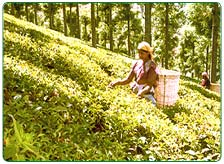 Ooty Tea Estate Tour